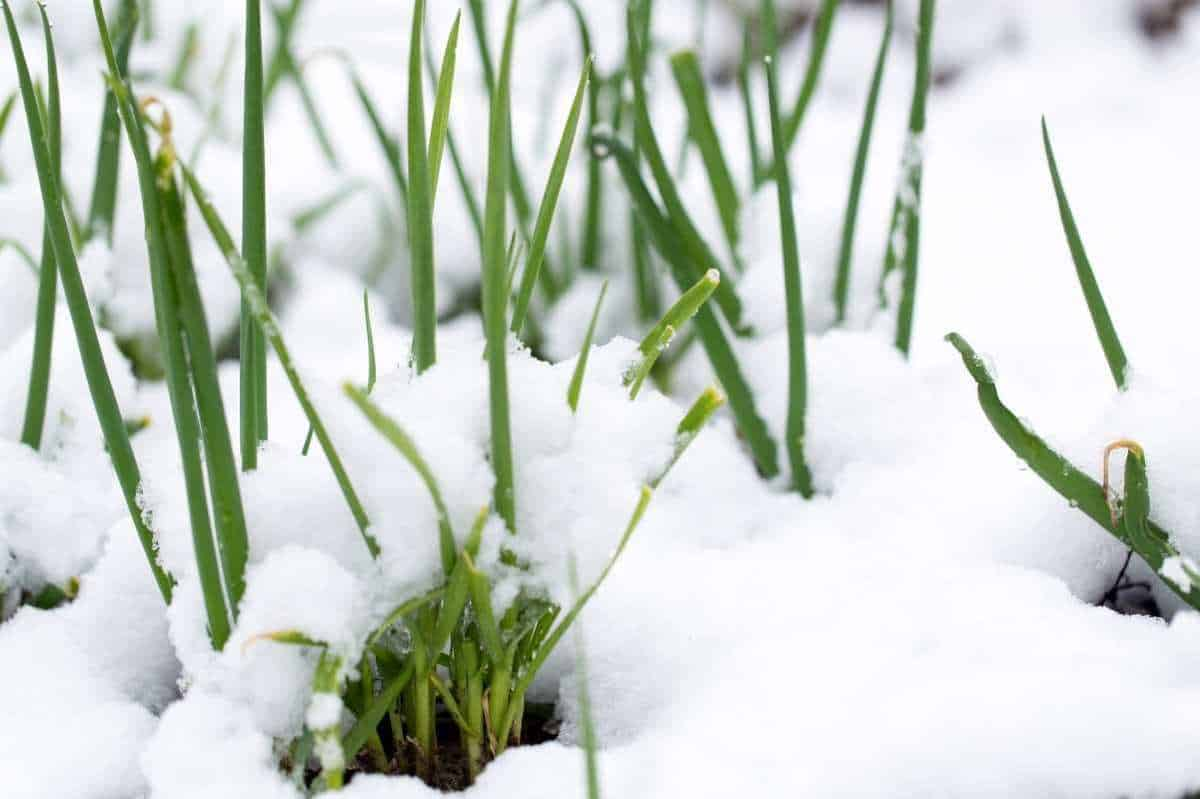 Onions poke up out of the snow where they overwinter