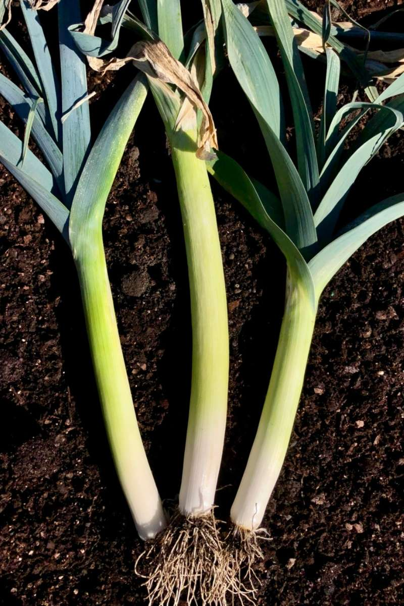3 overwintered leeks lay on the soil