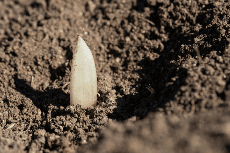 A garlic clove pokes out of the soil, about to be planted
