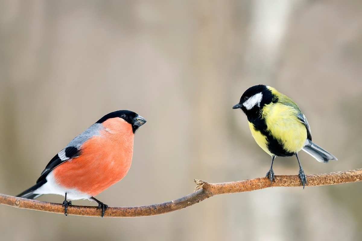 Two songbirds perch on a branch, facing each other